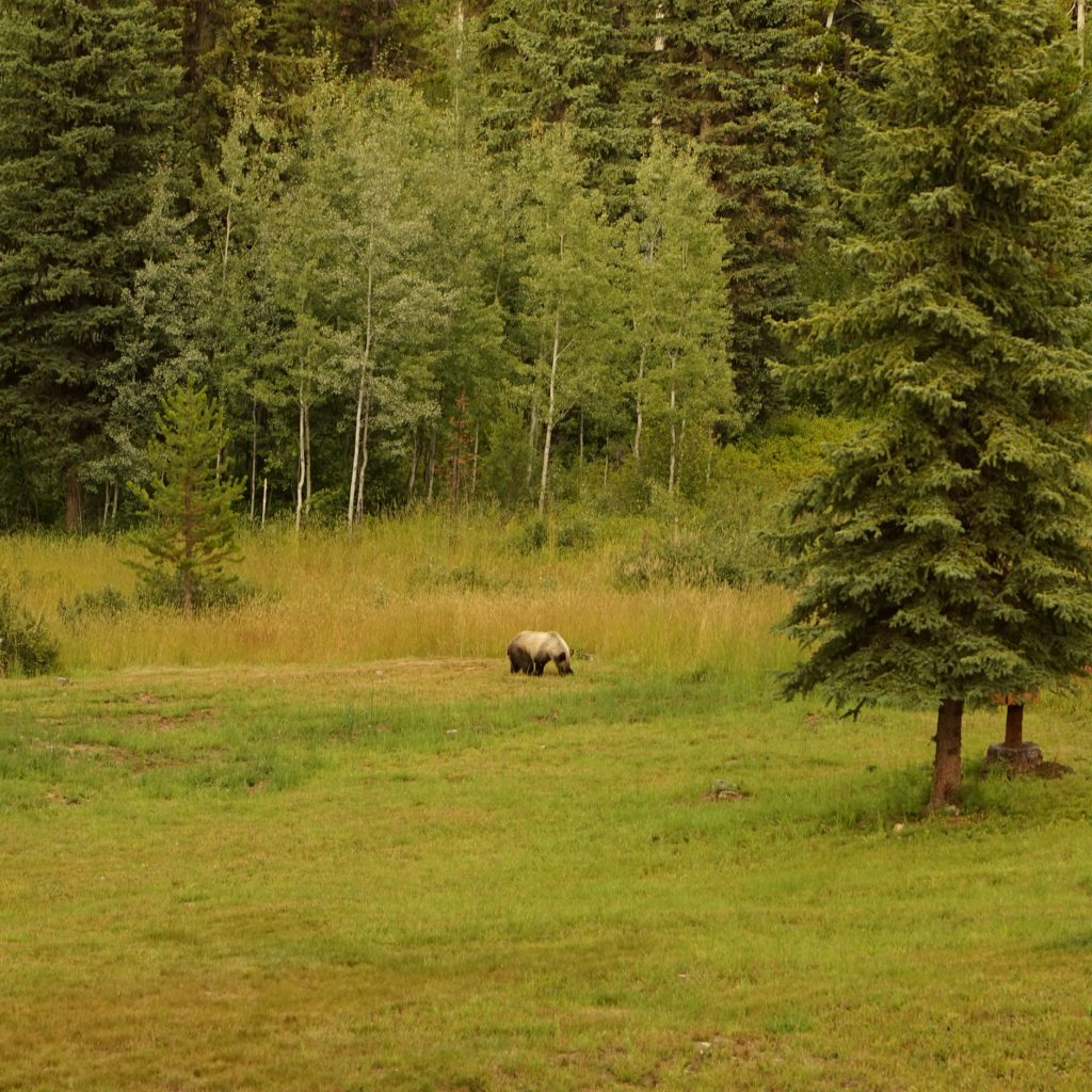 Grizzly Bear near Glacier National Park